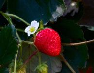 Jahody jsou velmi zdravé a dietní ovoce. Jahody obsahují hodně vody. Až 90% hmotnosti jahody je jen voda.